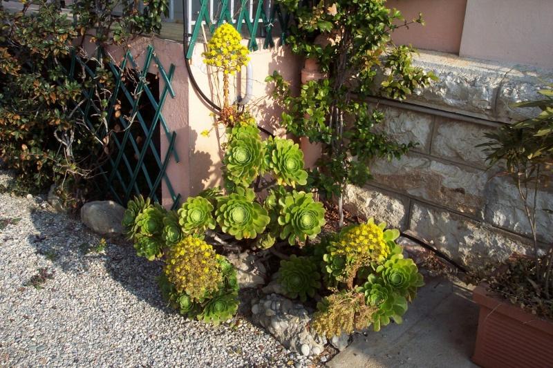 bouture aeonium au jardin forum de jardinage. Black Bedroom Furniture Sets. Home Design Ideas