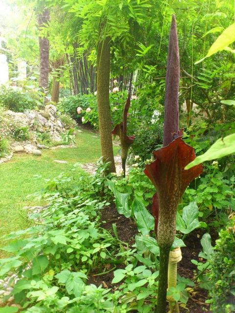 Identifiee dracunculus vulgaris une arac e au jardin for Cote hors gel