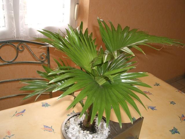 Identificiation d 39 un palmier tony3 - Racine d un palmier ...
