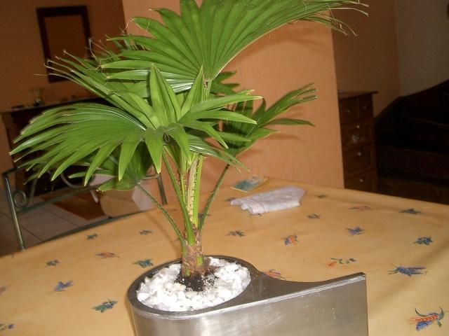 Identificiation d 39 un palmier - Racine d un palmier ...