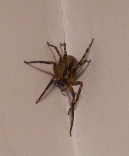 Identification d 39 araign e - Une araignee dans la salle de bain ...