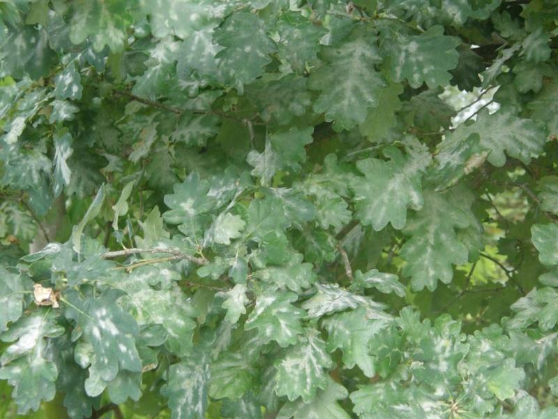 Maladie du ch ne o dium - Maladie du chene vert arbre ...