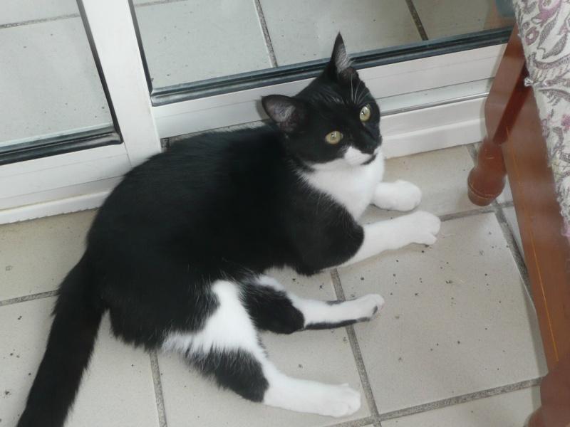 Chat noir et blanc race