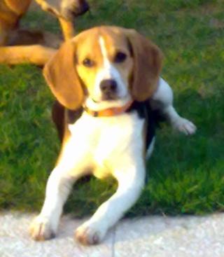 Filou beagle m le 7 mois - Beagle adulte ...
