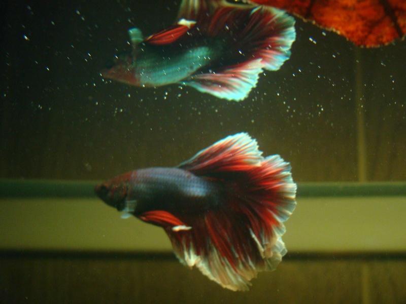 Aquarium de mon betta for Betta fish tank temperature