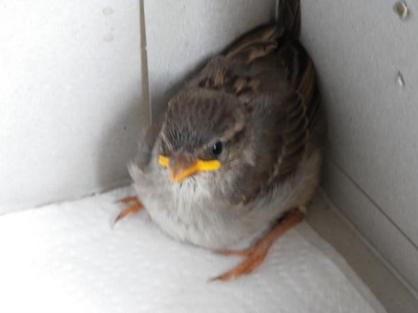 Oisillon trouv - Comment nourrir un oisillon ...